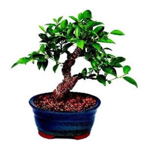 Brussel's Golden Gate Ficus Indoor Bonsai Tree