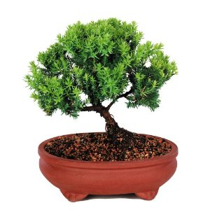 Brussel's Green Mound Juniper Outdoor Bonsai Tree